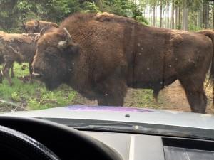 850 kg stellen schon ein enormes Risiko für Auto, Insassen und Tier da